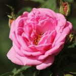 esoil01_rose.jpg
